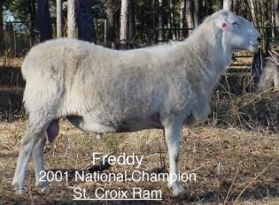 Freddy: St. Croix Ram