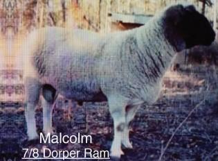 Malcolm: 7/8 Dorper Ram